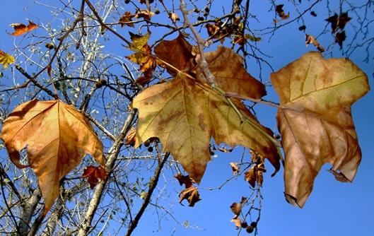 Em sua outonal beleza estão as árvores 05